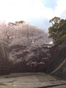 熊本城サクラ