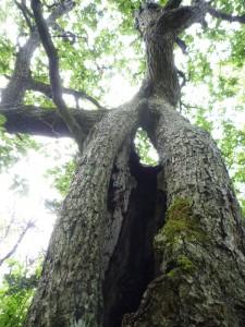 知床5湖 木の中が、カラッポ