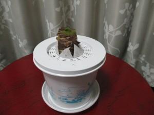 アマリリスの芽