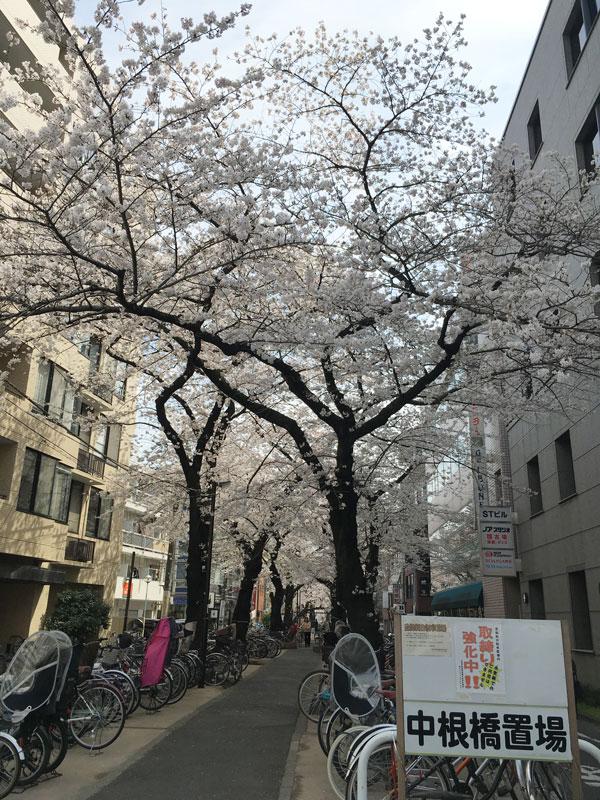 都立大学桜